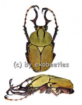 Dicranocephalus wallichii wallichii  ( 25 - 29 )