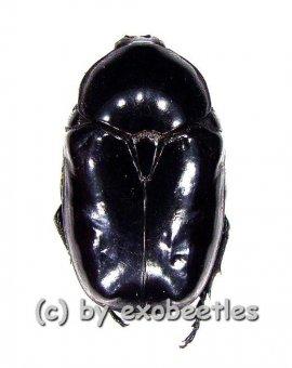 Diplognatha gagates  ( 15 - 24 )  A2