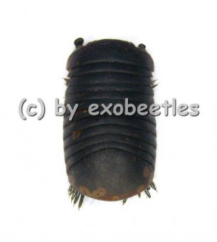 Diplopoda spec.  ( 25 - 29 )