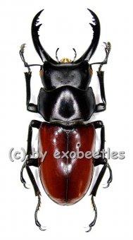 Dorcus ( Hemisodorcus ) arrowi  ( 45 - 49 )