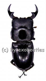 Dorcus curvidens curvidens  ( 35 - 39 )