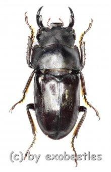Dorcus taibaishanensis ssp.  ( 10 – 14 )