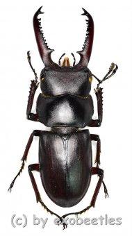 Dorcus tanakai meridionalis  ( 30 – 34 )