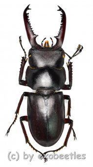 Dorcus tanakai meridionalis  ( 35 – 39 )