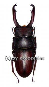 Dorcus tanakei  ( 25 - 29 )