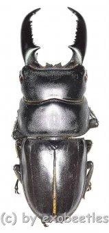 Dorcus titanus westermanni  ( 60 – 64 )