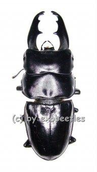 Dorcus tityus  ( 35 - 39 )