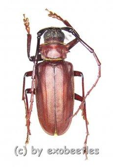Dorysthenes ( Paraphrus ) granulosus  ( 50 - 54 )