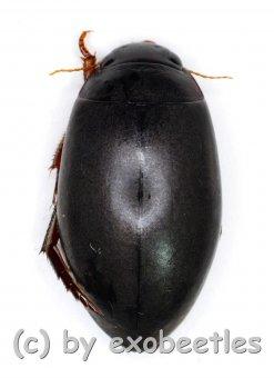Dytiscidae spec.  ( 10 - 14 )
