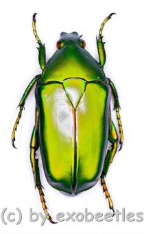 Eccoptocnemis ( Caelorrhina ) barthi ssp.rubriventris  ( 30 - 34 )