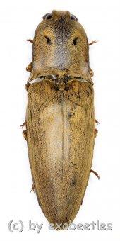 Elateridae spec. #27  ( 30 – 34 )