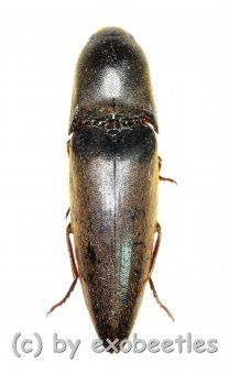 Elateridae spec. #28  ( 25 – 29 )