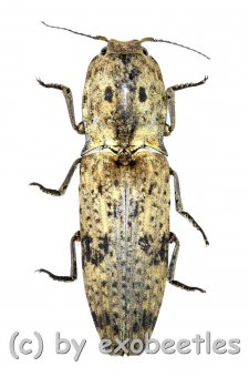 Elateridae spec. #29  ( 30 – 34 )