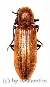 Elateridae spec. #31  ( 15 – 24 )