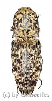 Elateridae spec. #34  ( 30 – 34 )