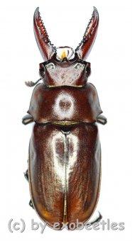 Eligmodontus kanghianus  ( 15 - 19 )
