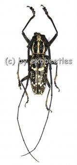 Epepeotes desertus  ( 20 - 24 )
