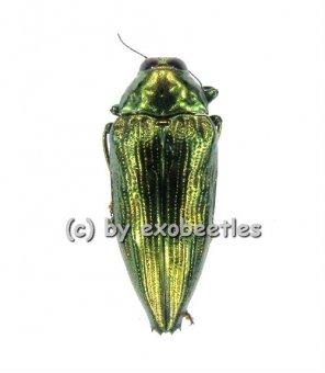 Epidelus wallacei ( grün )  ( 20 - 24 )