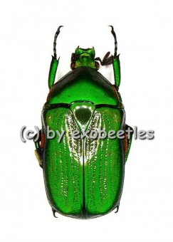 Euchloropus laetus  ( 20 – 24 )  A1-