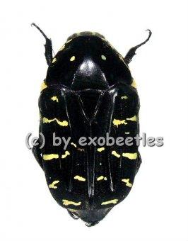 Euchroea abdominalis freudei  ( 20 - 29 )