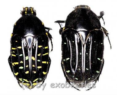 Euchroea clementi  ( 20 - 24 )