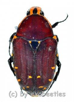 Euchroea episcopalis  ( 20 - 24 )