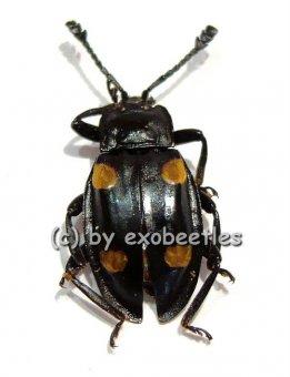 Eumorphus spec.