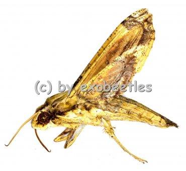 Eupanacra variolosa