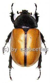 Eupatorus gracilicornis  ( 45 – 64 )  A1-