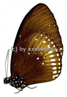Euploea midamus chloe