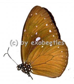 Euploea tulliolus