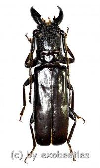 Eurypoda nigrita  ( 35 – 40 )