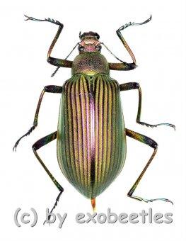Falsocameria spectabilis  ( 25 – 29 )