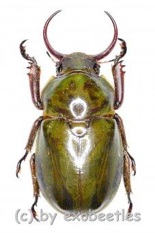 Fruhstorferia sexmaculata  ( 30 - 34 )