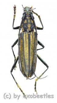 Gibbocerambyx aurevittatus  ( 20 - 24 )