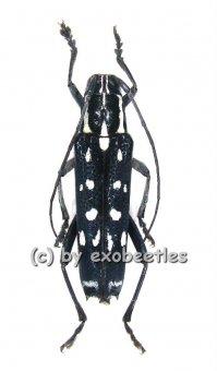 Glenea ( Macroglenea ) beatrix  A2
