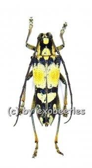 Glenea sarasinorum  ( 20 - 24 )