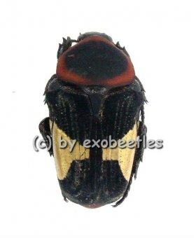Glycyphana ( Glycyphana ) horsfieldi  ( 10 - 19 )