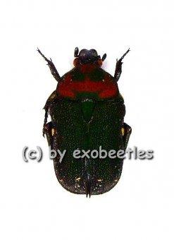 Glycyphana ( Glycyphaniola ) quadricolor ssp.quadricolor  ( 10 - 14 )