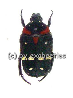 Glycyphana ( Glycyphaniola ) quadricolor ssp.rubroscutellaris var.2  ( 10 - 14 )  A2