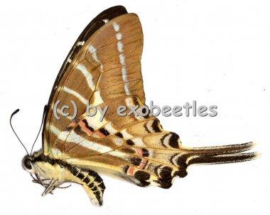 Graphium ( Pathysa ) aristeus  A2