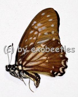 Graphium ( Paranticopsis ) macareus