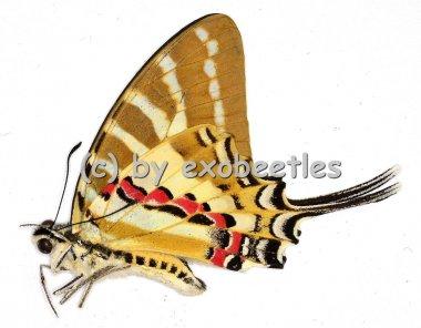 Graphium ( Pathysa ) nomius swinhoei  A2