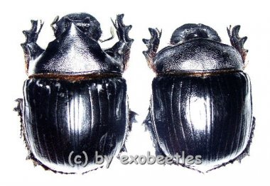 Heliocopris hamadryas  ( M 45 – 49 )  A2