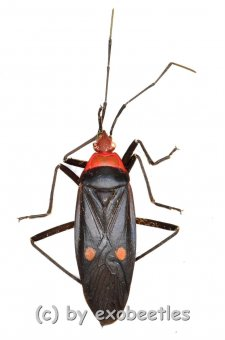 Hemiptera spec. #18  ( 20 – 24 )