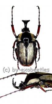 Herculaisia melaleuca  ( 35 - 39 )