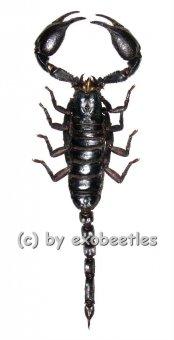 Heterometrus laoticus  ( 95 – 99 )  A1-