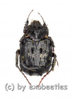 Hopliinae spec. #8  ( 5 – 9 )