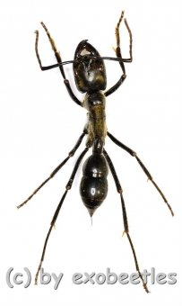 Hormiga gigante  ( 25 – 29 )