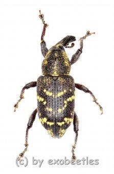 Hylobius abientis  ( 5 – 14 )